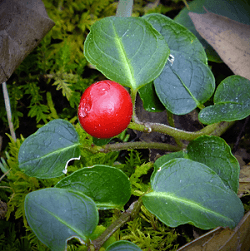gaulteria - pianta coltivazione autunnale