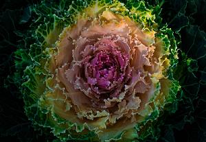 cavolo ornamentale - pianta coltivazione autunnale