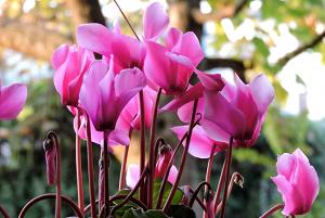 ciclamino- - pianta coltivazione autunnale