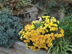 Crisantemo - pianta coltivazione autunnale