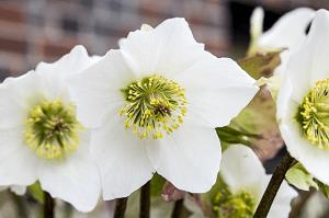 Elleboro - pianta per coltivazione autunnale