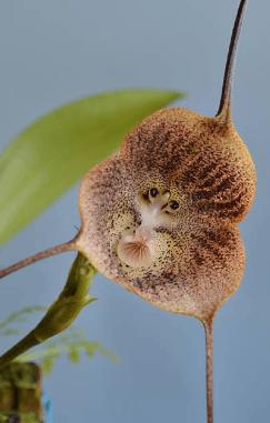 fiori curiosi orchidea faccia di scimmia