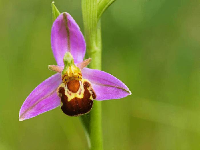 Ophrys Apifera orchidea fior di vespa