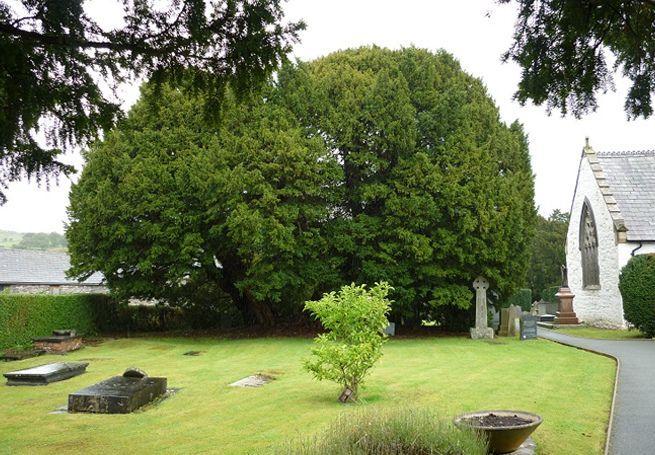 alberi più antichi del mondo Tasso di Llangernyw Yew,