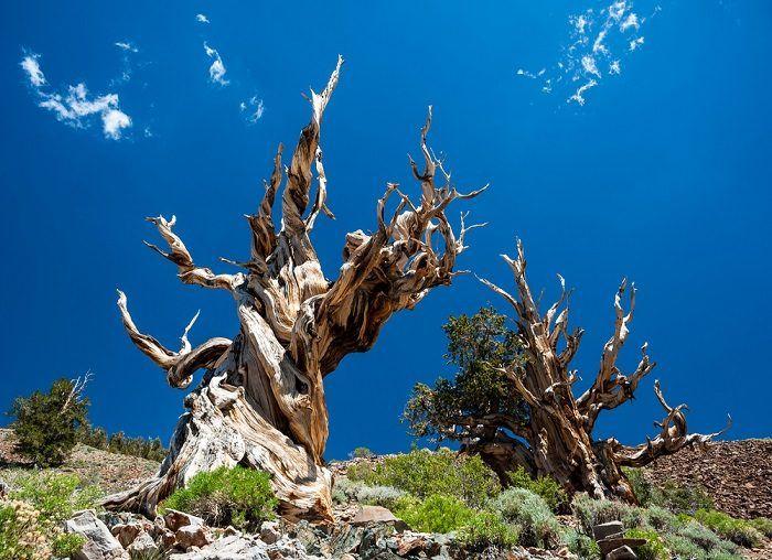 Un gioiello di natura. Gli alberi più antichi del mondo