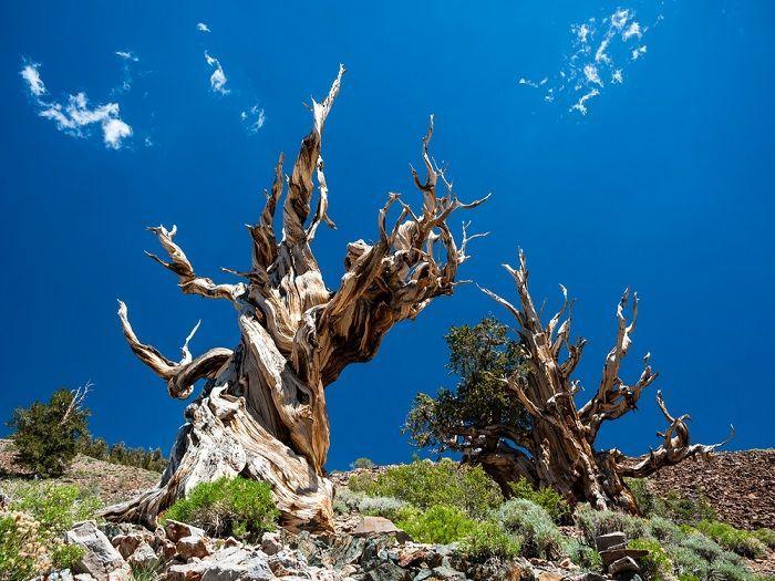 alberi più antichi del mondo Matusalemme