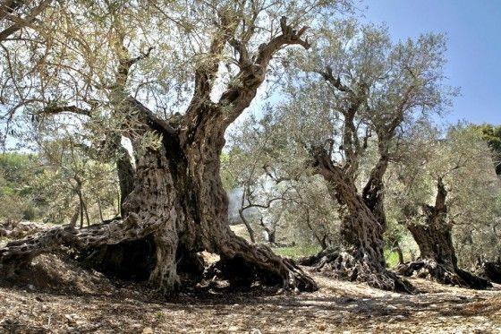 alberi più antichi del mondo Sisters Olive Trees of Noah