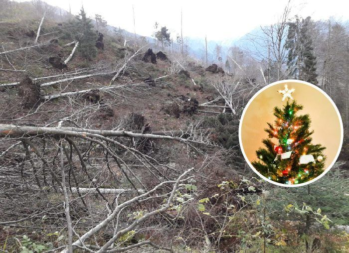 Maltempo: le piante abbattute si trasformano in alberi di Natale