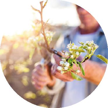 La potatura delle piante da frutto nel giardino di casa