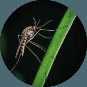 Le zanzare comuni e la zanzara tigre: se le conosci sai come difenderti