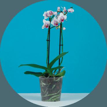 Coltivando le orchidee