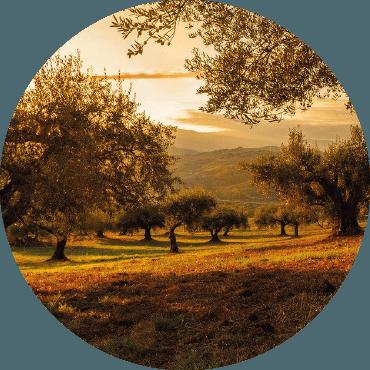 Gestione dell'olivo ornamentale